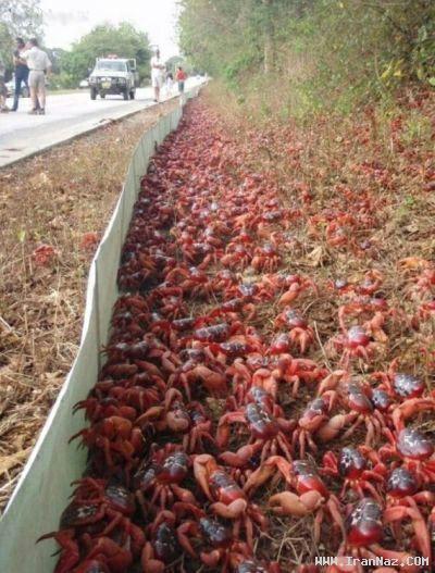 عکس هایی از حمله میلیون ها خرچنگ به یک شهر!!