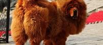 رکورد گران ترین سگ دنیا با 1.5 میلیارد قیمت +عکس