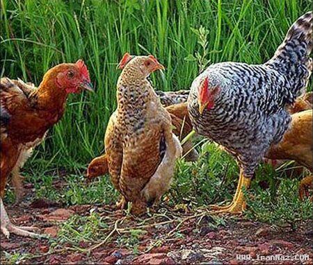 حرکات خنده دار مرغی که فکر میکند یک پنگوئن است!
