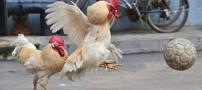 عکس های بسیار دیدنی از مسابقه فوتبال خروس ها
