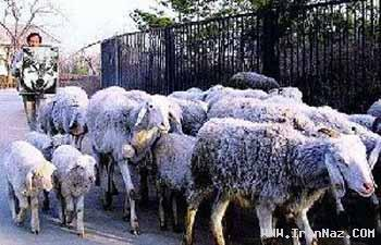 روش بسیار خنده دار یک چوپان برای کنترل گوسفندان