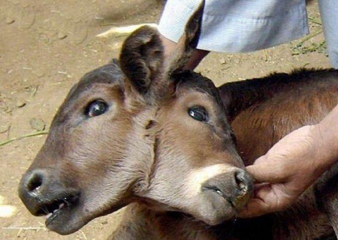 عکس های بسیار عجیب و دیدنی از حیوانات دوسر!
