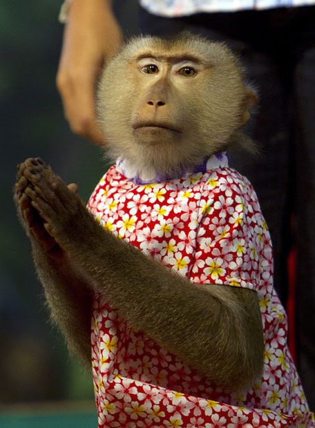 عکسهایی از اجرای مراسم توسط میمون ها