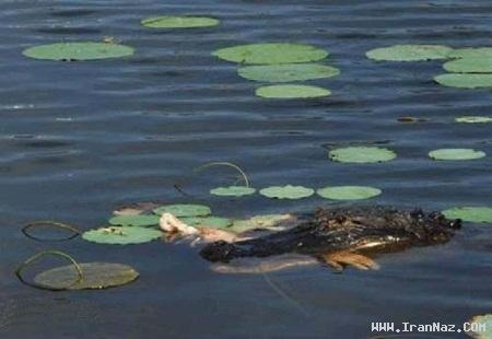 حمله تمساح به مرد گلف باز و کندن دست او +عکس