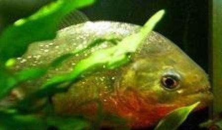 www.irannaz.com عکس های وحشتناک خورده شدن مردی توسط ماهی 16+