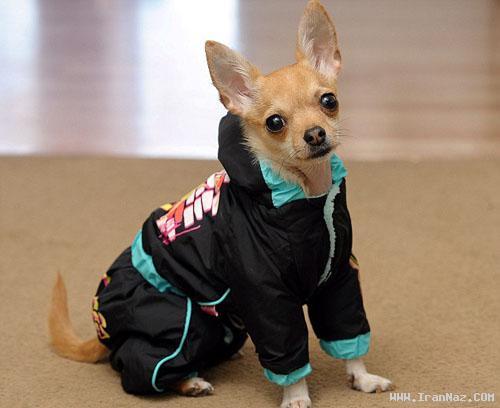 سگی بسیار خوشبخت با 1500 دست لباس! +تصاویر