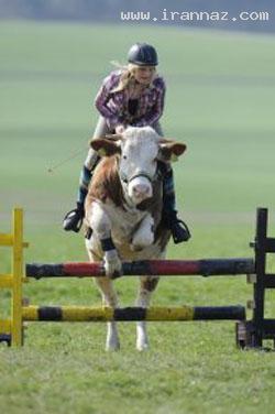 دختری بسیار شجاع که با گاو از موانع می پرد +عکس