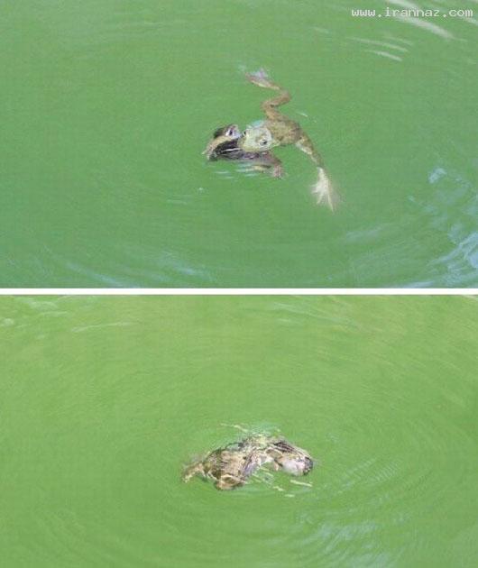 عکس های باور نکردنی نجات یک موش توسط قورباغه ، www.irannaz.com