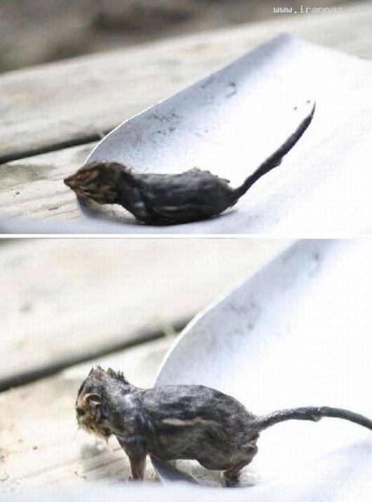 عکس های باور نکردنی نجات یک موش توسط قورباغه