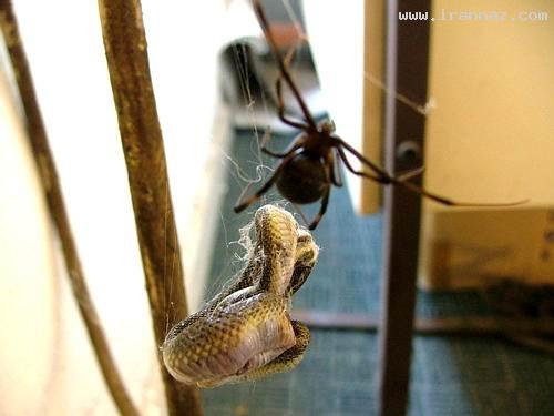شکار باورنکردنی یک مار بزرگ توسط عنكبوت! +عکس