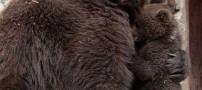 عکس های کم نظیر از رفتار یک خرس مادر با فرزندش!