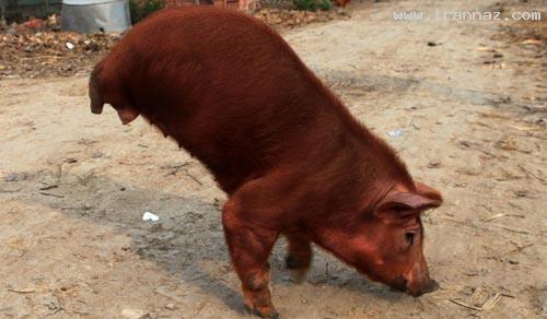 خوک دو پایی که با خوردن لیمونات می رقصد!! +عکس