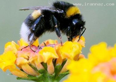 زنبوری عجیب که از اشک چشم تغذیه میکند! +عکس