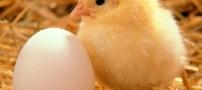 عکسهای خارق العاده از سیر تکامل تخم مرغ تا جوجه