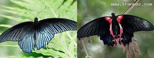 تعجب دانشمندان از کشف پروانه ای دوجنسه +عکس