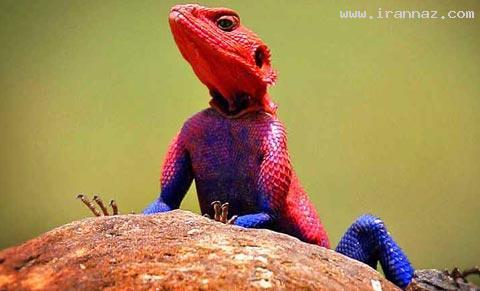 شباهت عجیب یک قورباغه به مرد عنکبوتی!! +عکس