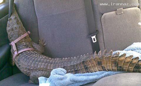این زن بخاطر تمساح از همسر خود جدا شد! + تصاویر