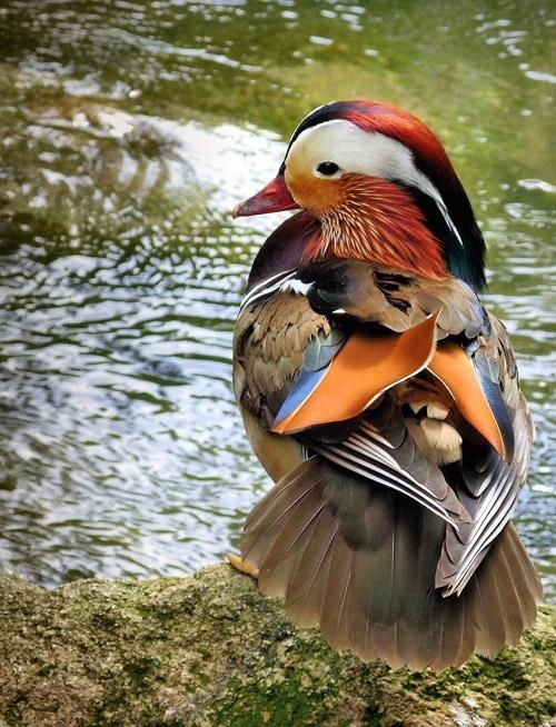 عکسهایی از زیباترین مرغابی دنیا
