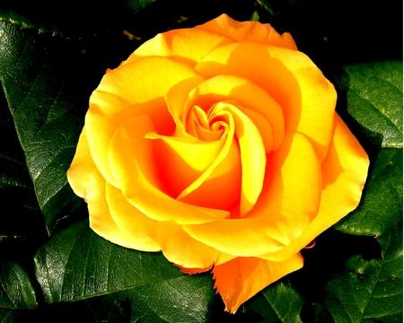 عکسهای بسیار زیبا و دیدنی از گل سرخ