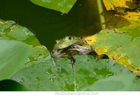 عکس های شکار یک گنجشک توسط قورباغه!!