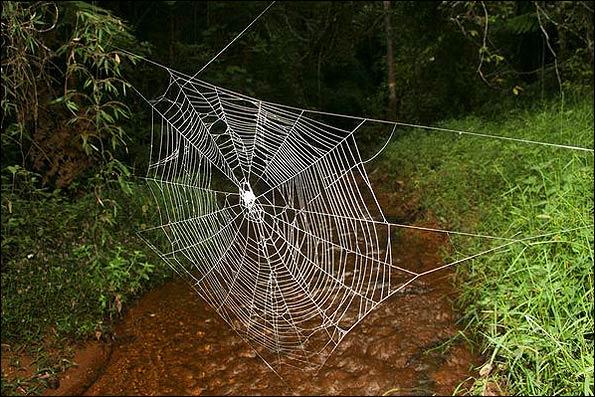 بزرگترین تار عنکبوت جهان به طول 2 اتوبوس