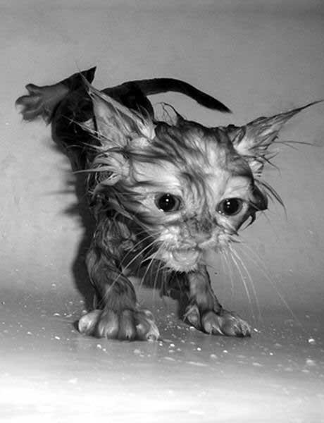 عکسهایی جالب از گربه های خیس شده
