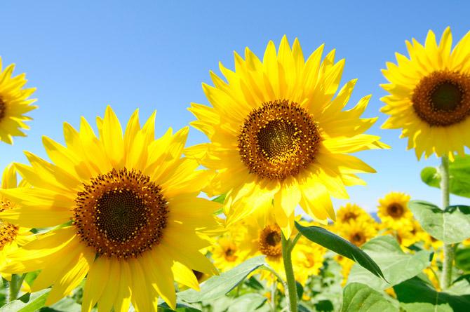 عکس هایی زیبا از گل های آفتابگردان