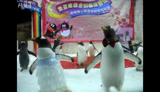 عکسهای جالب و دیدنی ازدواج پنگوئنها