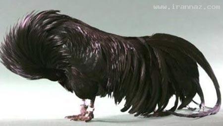 عکسهای تیپ مرغ ها از زمانی که قیمتشون بالا رفته
