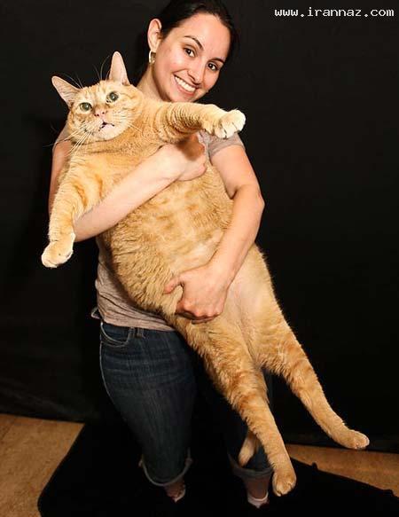 رژیم گرفتن چاق ترین گربه دنیا برای لاغری! +عکس