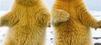 خرس قطبی عجیب و بامزه ای که می رقصد! + عکس