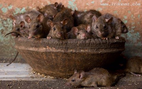 عکسهای باورنکردنی از معبد موشهای مقدس در هند