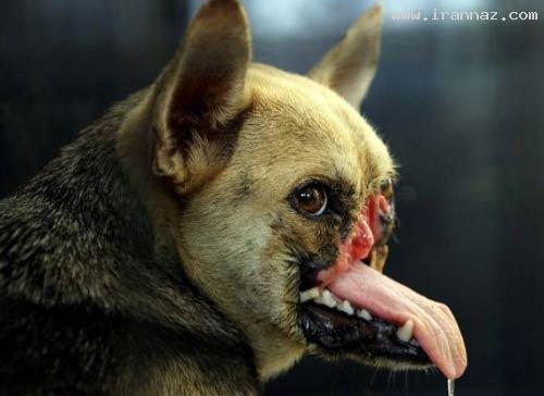 فداکاری باورنکردنی و خارق العاده یک سگ (+عکس)