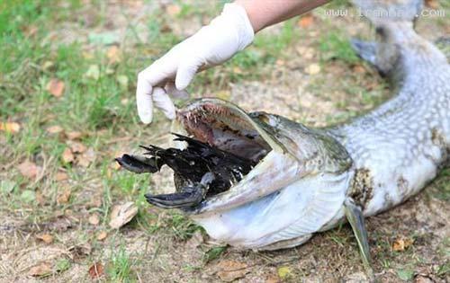 خفه شدن یک ماهی بر اثر خوردن یک اردک (+عکس)