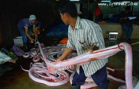 عکس هایی دردناک از ساخت محصولات پوست مار!!