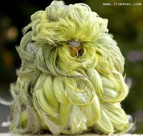 عکس هایی بسیار زیبا از یک مرغ عشق فشن و نایاب