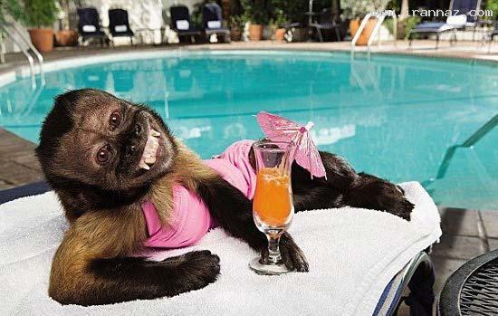 ژست جالب این میمون مشهور مقابل دوربین (تصویری)