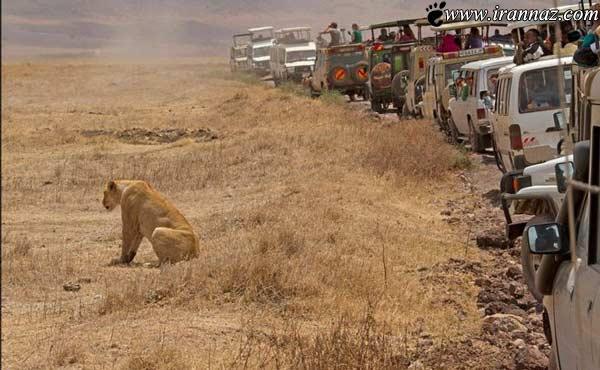رفتار عجیب و بدون سابقه یک شیر با دیدن توریست ها!!