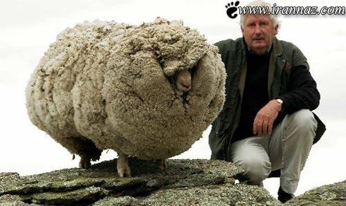 وقتی که یک گوسفند هم معروف و سرشناس میشود