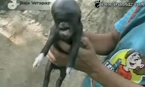 تولد خوکی با سری شبیه به انسان و میمون! (عكس)