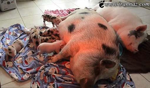 زندگی مشترک و باورنکردنی این زن با 40 خوک! (عکس)