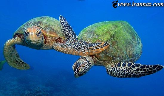 گوشه ای از قدرت خدا، لاک پشت های رنگی استرالیا
