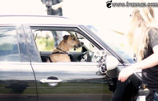 وقتی به سگ ها آموزش رانندگی داده میشود (عکس)