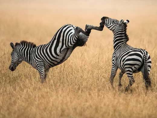 این حیوان میتواند با لگد یک شیر 220 کیلویی را بکشد