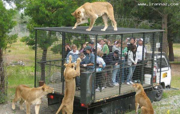 در این باغ وحش جای حیوانات و گردشگران عوض شده