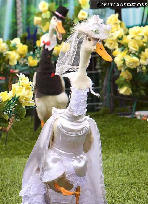 عکس های بسیاردیدنی و جالب از شو لباس اردک ها!