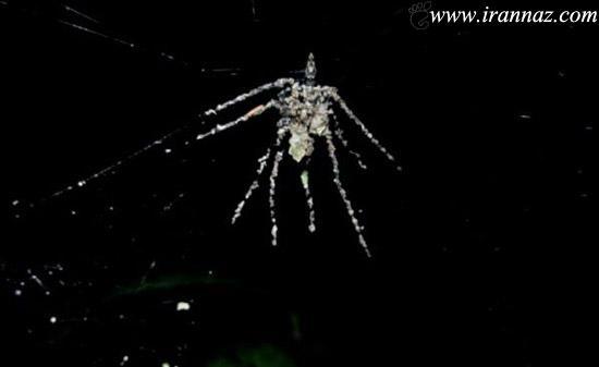 عنکبوتی هنرمند که مجسمه خود را میسازد! (عکس)