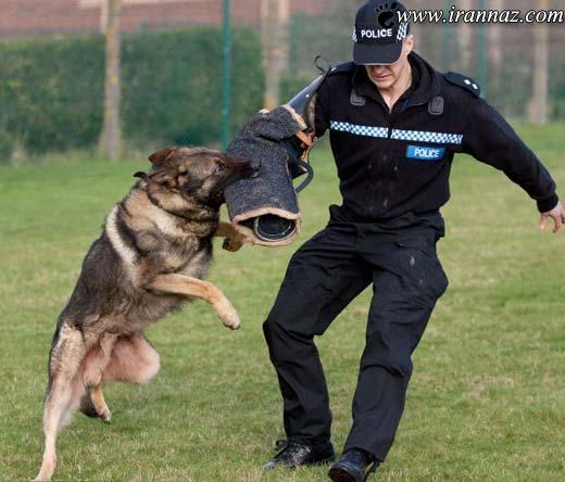 سگی که رکورددار بازداشت خلافکارها است! (عکس)