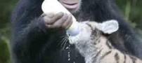 حس مادرانه متفاوت و باورنکردنی این حیوان ! (عکس)
