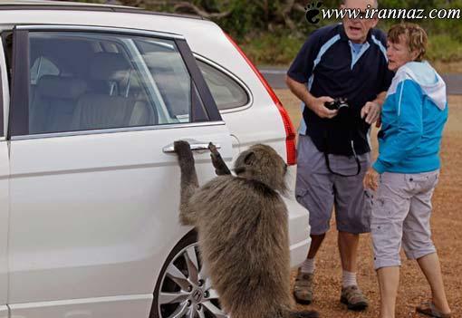 زورگیری و دزدی میمون ها در روز روشن! (عکس)